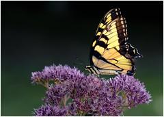 """Swallowtail on Eutrochium dubium (""""Little Joe"""" Joe Pye Weed) (sorrellbruce) Tags: nature summer gardens gardening morning butterflies swallowtail easterntigerswallowtail"""