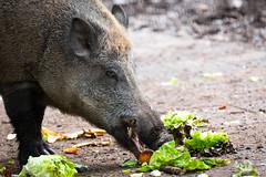 Wild boar (Cloudtail the Snow Leopard) Tags: animal boar mammal pig säugetier schwein scrofa sus tier wild wildschwein swine wildpark pforzheim