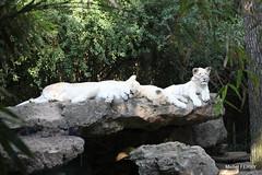 IMG_0580 - ZOO DE LA FLÈCHE (michel91530) Tags: zoodelafleche sarthe paysdeloire canon5dii lionsblancs