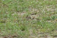 1.31152 Moineau de Shelley / Passer shelleyi / Shelley's Rufous-Sparrow (Laval Roy) Tags: moineaudeshelley passershelleyi shelleysrufoussparrow passeriformes passéridés aves oiseaux birds uganda afrique africa lavalroy