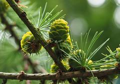 new cones (Johnson Cameraface) Tags: 2019 july summer olympus omde1 em1 micro43 mzuiko 60mm macro f28 johnsoncameraface tree cones green pine