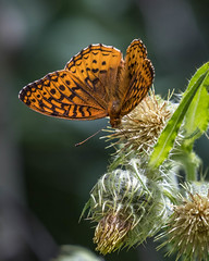 Greater Fritillary, genus Speyeria (webersaustin) Tags:
