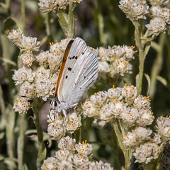 Ruddy Copper, Lycaena rubidus (webersaustin) Tags: