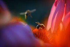 (marussia1205) Tags: пчелы лето вечер полет bees summer evening flight