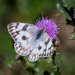 Checkered White, Pontia protodice, female (webersaustin) Tags: