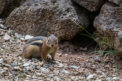 Golden-mantled Ground Squirrel, Callospermophilus lateralis (webersaustin) Tags:
