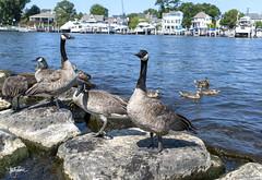 Smile! (Troy Strane) Tags: southhaven michigan summer water geese goose ducks rocks sunshine nikon d850