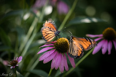 Butterfly dance (Irina1010) Tags: echinacea butterflies dance around garden outdoors nature flowers insects canon movement coth5 ngc npc