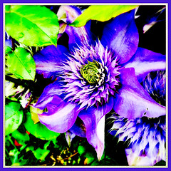 Colourful Clematis (Julie (thanks for 9 million views)) Tags: sliderssunday hss clematis colourful 100xthe2019edition 100x2019 flower purple flora squareformat iphonese hipstamaticapp image72100