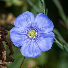 Wild Blue Flax, Linum lewisii (webersaustin) Tags: