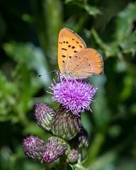 Purplish Copper, Lycaena helliodes (webersaustin) Tags: