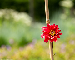 Dahlia on a Stick (Jim Frazier) Tags: 2019 20190723cantigny 2019cantigny asteraceae karmachoc annuals balance bloom blooming blossoming blossoms bluesky blurredbackround botanic botanicgardens botanical botanicalgardens buroakgarden cantigny cantignypark closeup dahlia detail dupage dupagecounty flora floral flowering flowers forbs formalgardens gardening gardens horticulture il illinois isolationofsubject jimfraziercom july lonely lonesome middaylight minimalism museums nature negativespace one parks photowalk plants preserves publicgardens q4 red ruleofthirds shallowdepthoffield shallowfocus simplicity single stick study summer sunny tocantignylizandjeff toexporttoflickr upperburoakgarden verticals wheaton jfpblog instagram f10 fastpictures loadcode201908 f20