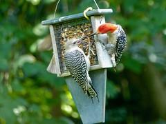 Have a Bite (WRFred) Tags: bird backyardwildlife maryland montgomerycounty nature wildlife woodpecker feeder young