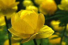 DSC05268 (Argstatter) Tags: blume flower gelb blüten makro bokeh natur pflanze