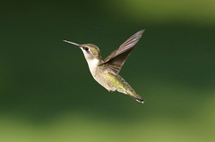 Little One (Diane Marshman) Tags: rubythroated hummingbird ruby throated small bird green upper head back tail feathers white chest brown throat spots dark wings long black beak inflight flying motion action summer pa pennsylvania nature wildlife