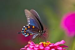 pipevine on zinnia (G_Anderson) Tags: swallowtail butterfly backyard garden missouri pollinator zinnia