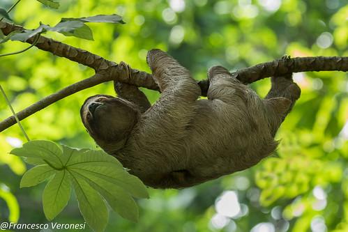 Three-toed Sloth - Cerro Ancon - Panama City CD5A7112-
