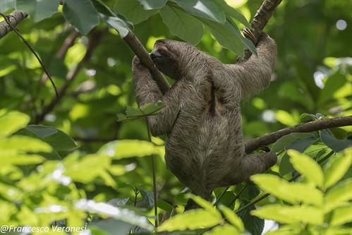 Three-toed Sloth - Cerro Ancon - Panama City CD5A6893