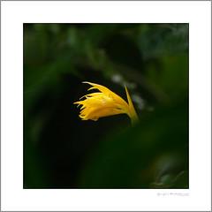 Lonely flower (G. Postlethwaite esq.) Tags: costarica centralamerica yellow ginger flower unlimitedphotos photoborder losangelescloudforest