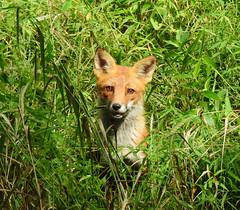The Return of Mr. Tod (annette.allor) Tags: red fox woods nature portrait pose grass vulpes