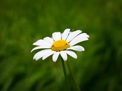 Flies and a flower (Jonne Naarala) Tags: flower fly leica leicadigilux2 finland digilux2