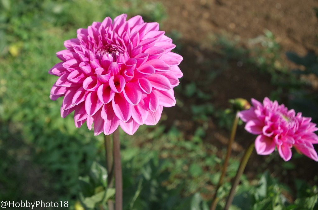 The World S Best Photos Of Dahlia And Fleur Flickr Hive Mind