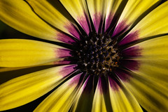 united by nature (HMM !) (ralfkai41) Tags: makro plant nature africandaisy pflanze komplementärfarben macromonday blüte macro blume flower blossom complementarycolours natur afrikanischesgänseblümchen