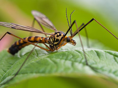 Another patient guy (olyjan) Tags: macro olympus m43 mft em10markii makro 60mmf28 insekt insect animal tier animals tiere