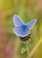 common blue , male (alderson.yvonne) Tags: butterfly common blue august meadow male uk summer warm yvonne yvonnealderson