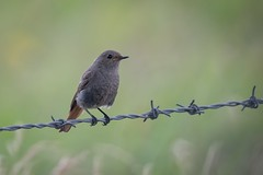 Black redstart (JS_71) Tags: nature wildlife nikon photography outdoor 500mm bird new summer see natur pose moment outside animal flickr colour poland sunshine beak feather nikkor d500 wildbirds planet global national wing eye watcher