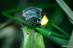 Glow worm portrait II (Dom Greves) Tags: beetle behaviour bioluminescence bioluminescent glowworm grassland insect invertebrate july lampyrisnoctiluca night nocturnal summer surrey uk wildlife