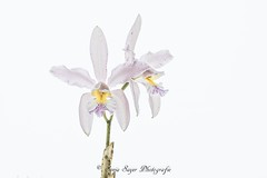 Königin der Blumen (SonjaS.) Tags: blumen orchidee flower weiserhintergrund königin sonjasayer freunde fotografie 100mmmakrocanon canoneos6dmarkii