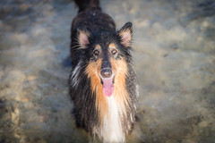 31/52 Leia & more beach (shila009) Tags: leia perro dog roughcollie