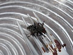 Fliege (Priska B.) Tags: gummen fliege teller gabel berg dallenwil innerschweiz zentralschweiz schweiz switzerland swiss svizzera