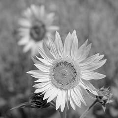 Sonnenblume (ekech) Tags: ishootfilm istillshootfilm buyfilmnotmegapixels filmisnotdead film analog analogue largeformat grosformat blackwhite schwarzweiss monochrome foma intrepid intrepid4x5mk4 retropan retropan320 retropandev sonnenblume sunflower yamasakicongo210mmf63 congo210mm yamasaki