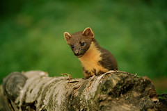Pine Martin behind log. (JCstudios PHOTOGRAPHY) Tags: scotland visitscotland ig edinburgh lovescotland thisisscotland greatshots travel scotspirit instascotland photography hiddenscotland uk scotlandshots nature insta highlands explorescotland scotlandisnow loves landscape scottishhighlands glasgow unlimitedscotland icu igscotland explore photooftheday scotlandlover composition exposure foto fotografia igshotz instaphoto instaphotos instapic photo photograph photographer photographers photographie photographyeveryday photographyislife photographylover photographylovers photographyoftheday photographysouls photos pic picoftheday pics picture pictureoftheday pictureperfect pictures flickr pine martin wild free