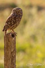 Chevêche d'Athéna.jpg (MELEARD David) Tags: oiseaux strigiformes chevêchedathéna strigidés athenenoctua aves birds littleowl strigidae rouessévassé sarthe france