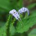 Turnsole (Heliotropium indicum) wildflowers