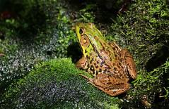 Waiting (Diane Marshman) Tags: frog amphibian green black brown tan skin spots moss mossy covered rocks stones wet summer pa pennsylvania nature wildlife