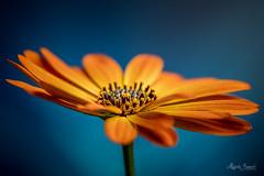 Macro Mondays - Complementary Colours (Magda Banach) Tags: complementarycolours nikond850 blue colors flora flower macro macromondays nature orange plants