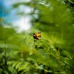 Short Life (walden.gothere) Tags: fuji fujifilm xpro1 fujifilmxpro1 fujinon 35 35mm 35mmf14 nature bokeh animals animal butterfly