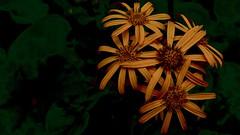 Orange (ye sons of art) Tags: garden nationaltrust flowers plants gloucestershire england uk