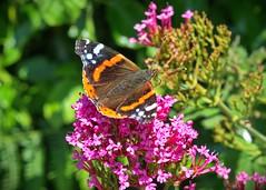 Butterfly (janedoe.notts) Tags: england unitedkingdom ilfracombe nature walk flower butterfly pink insect bush plant olympus omd em10markii 12100