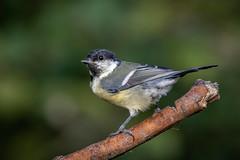 Great Tit (sean4646) Tags: d500 nikon birds avian nature wildlife daisynook tameside pond greattit