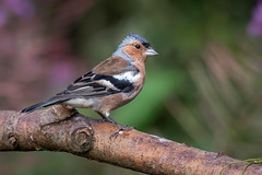 Chaffinch (sean4646) Tags: d500 nikon birds avian nature wildlife daisynook tameside pond chaffinch