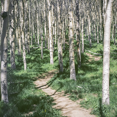 Tessa Trail  Summer Aspens (Mabry Campbell) Tags: 2019 500cm fujifilm hasselblad june newmexico pro400 santafe tessahorantrail tessatrail usa aspens color film forest green image landscape photo photograph squareformat summer trail trees trunks mabrycampbell pro400campbell000450660007
