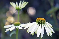 a thing of beauty (1crzqbn) Tags: echinacea flowers light inmygarden outside sunlight sliderssunday bokeh hss 1crzqbn