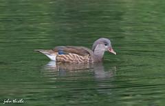 Mandarin (f) (johnthistle) Tags: westonturville canon bird wild nature 7dmkii 100400mm widowerarm avian mandarin duck water green blue