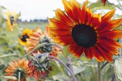 015 Slider Sunday (karendunne337) Tags: slidersunday sunflowers