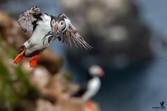 Atlantic puffin fishing trip (Osprey-Ian) Tags: